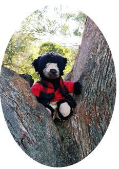 Tedz in the fork of a gum tree